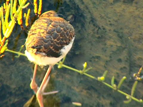 stockvideo's en b-roll-footage met sandpiper - in het water levend organisme