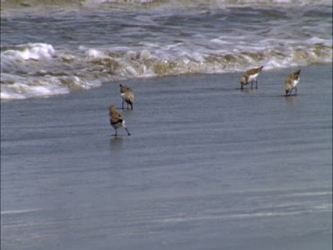 vídeos de stock, filmes e b-roll de sandpipers chase the surf as they scavenge for food. - pilrito