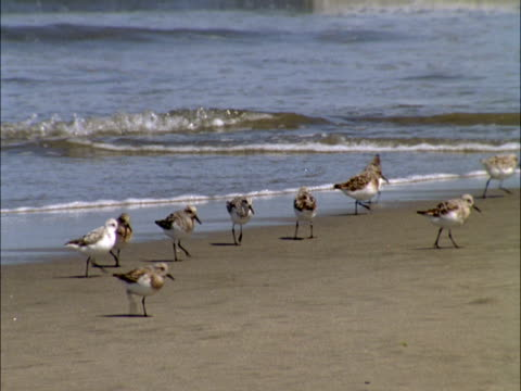 sandpipers chase the surf as they scavenge for food. - sandpiper stock videos & royalty-free footage