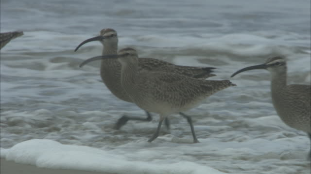 sandpipers strut along a beach where waves wash ashore. - sandpiper stock videos & royalty-free footage