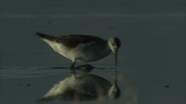 sandpipers strut through water and feed on insects. - sandpiper stock videos & royalty-free footage