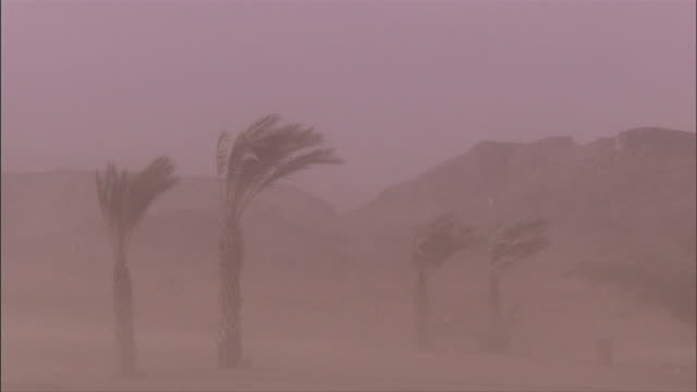 Sandstorm winds blow against palm trees in the Timna Valley. Available in HD