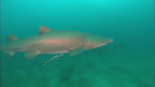 sandtiger ragtooth shark, north carolina, atlantic ocean  - sand tiger shark stock videos and b-roll footage