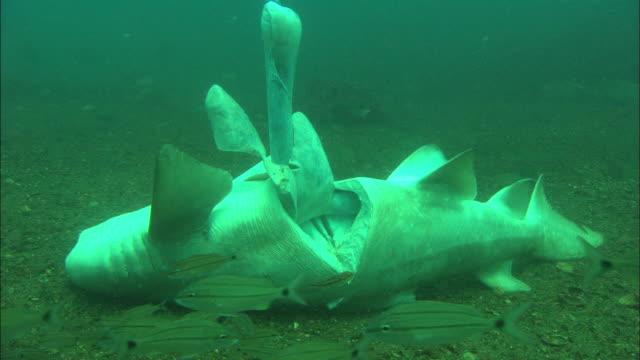 sandtiger ragtooth shark, shots of cut open shark insides floating upwards. north carolina, atlantic ocean  - sand tiger shark stock videos and b-roll footage