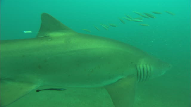 sandtiger ragtooth sharks (tagged), close up. north carolina, atlantic ocean  - wildlife tracking tag stock videos and b-roll footage