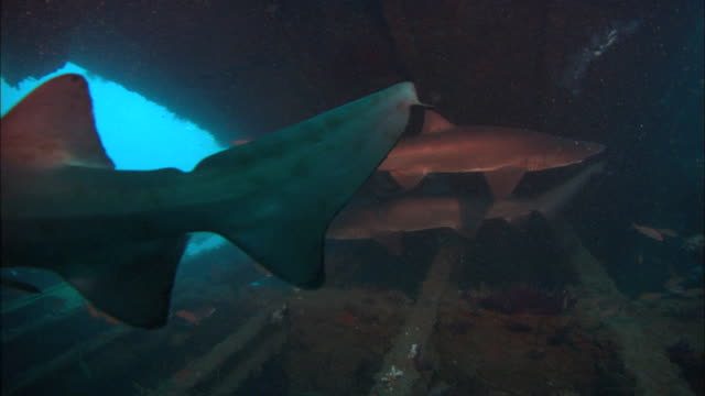 sandtiger ragtooth sharks, in wreck, camera follow solo shark out wreck. north carolina, atlantic ocean  - sand tiger shark stock videos and b-roll footage