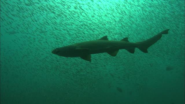sandtiger ragtooth sharks, solo in bait fish. north carolina, atlantic ocean  - sand tiger shark stock videos and b-roll footage