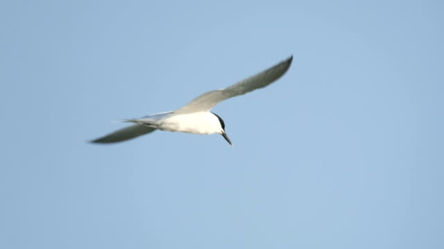 vidéos et rushes de sandwich tern (thalasseus sandvicensis) in flight - mouette