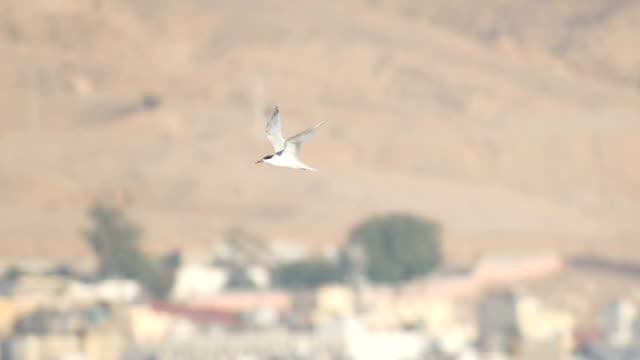Sandwich tern (Thalasseus sandvicensis) in flight