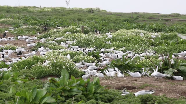 sandwich terns, thalasseus sandvicensis nesting on the farne islands, northumberland, uk. - farne islands stock videos & royalty-free footage