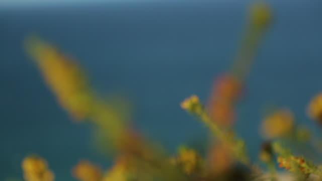 vidéos et rushes de sandy beach wild flowers, qld island, australia - extreme close up