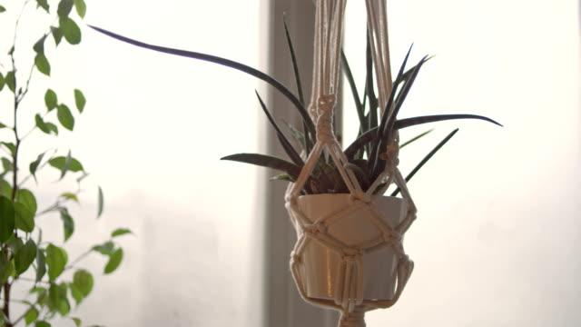 vídeos de stock, filmes e b-roll de flor do bacularis de sansewieria, potenciômetro do macramé - planta de vaso
