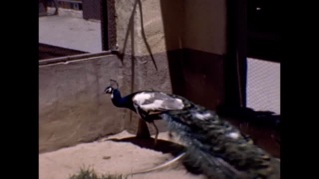 1947 santa catalina island zoo - chicken wire stock videos and b-roll footage