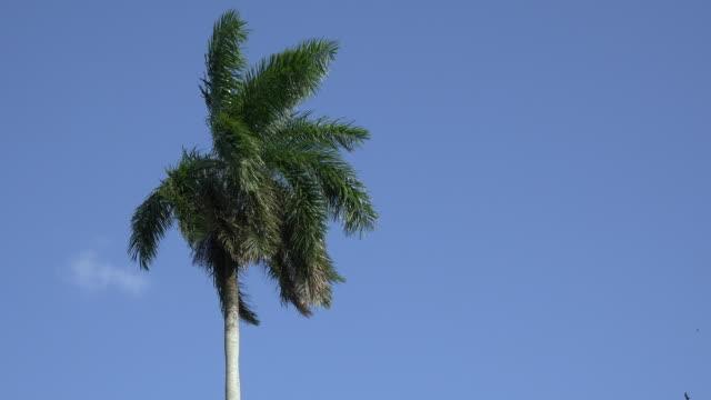 santa clara, cuba: royal palm tree in beautiful blue clear sky - royal blue stock videos & royalty-free footage