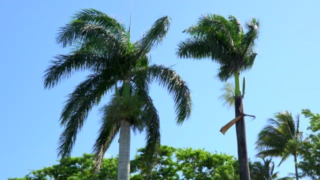 Santa Clara, Cuba: Royal Palms or Roystonea regia, Cuban National Tree, in blue sky.