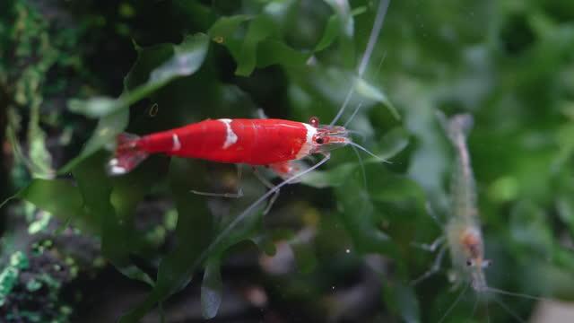 vídeos y material grabado en eventos de stock de santa crystal red dwarf shrimp stay on green grass and eat orange shrimp food - organismo acuático