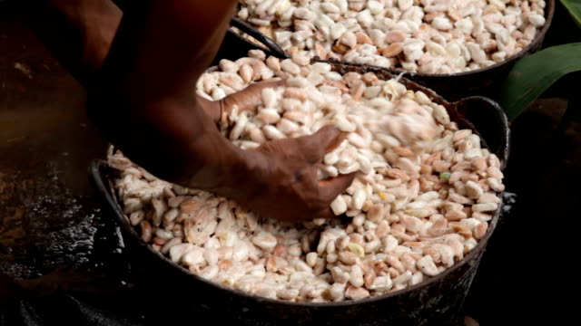 Sao Tomé and Principe, Principe Island, cocoa beans dipped in white pulp