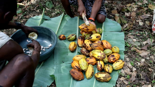 Sao Tomé and Principe, Principe island, opening the pods of the cocoa fruit to extract the beans