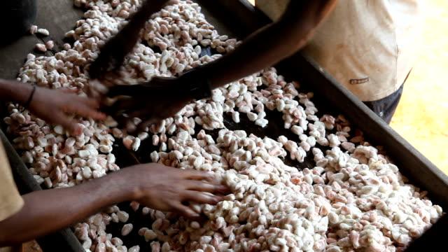 Sao Tomé and Principe, Principe island, quality control of cocoa beans still in the white pulp