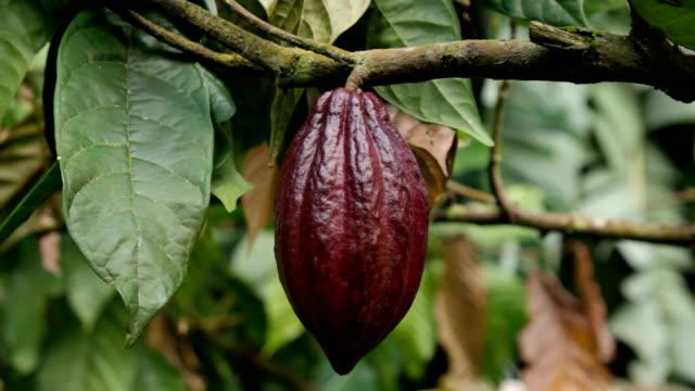 Sao Tomé and Principe, Sao Tomé island, cocoa production, fruit of ripe cocoa in plantation