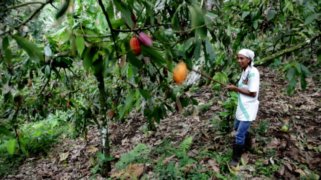 sao tomé and principe, sao tomé island, cocoa production, harvest of ripe cacao fruit - ernten stock-videos und b-roll-filmmaterial