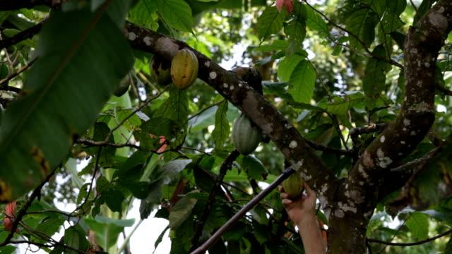 Sao Tomé and Principe, Sao Tomé island, cocoa production, harvest of ripe cacao fruit
