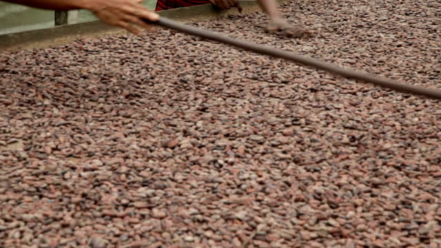 sao tomé and principe, sao tomé island, cocoa production, seed drying phase, mixing the seeds with the rake - drying stock videos and b-roll footage