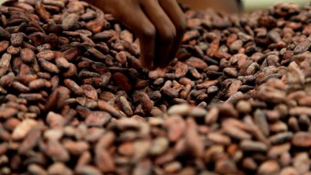vídeos de stock e filmes b-roll de sao tomé and principe, sao tomé island, cocoa production, seed drying phase - colheita