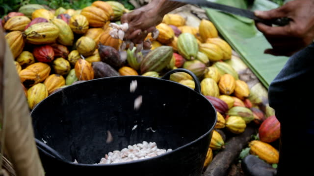 Sao Tomé and Principe, Sao Tomé island, opening the pod of the cocoa fruit to extract the beans