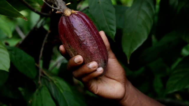 Sao Tomé and Principe, Sao Tomé island, Ponta Figo, cocoa fruit