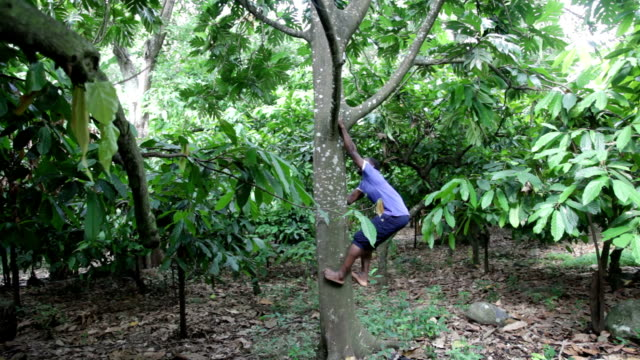sao tomé and principe, sao tomé island, ponta figo, man climbing a tree to collect the fruit - only mature men stock videos & royalty-free footage