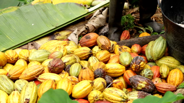 Sao Tomé and Principe, Sao Tomé island, ripe fruit of cocoa waiting to be opened to extract the seeds
