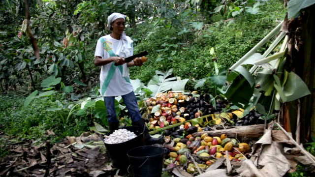 Sao Tomé and Principe, Sao Tomé island, woman who opens the pod of the cocoa fruit to extract the beans