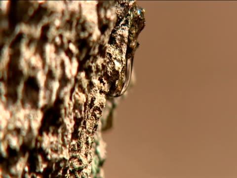 vidéos et rushes de sap drips down bark of birch tree in woodlands uk - écorce