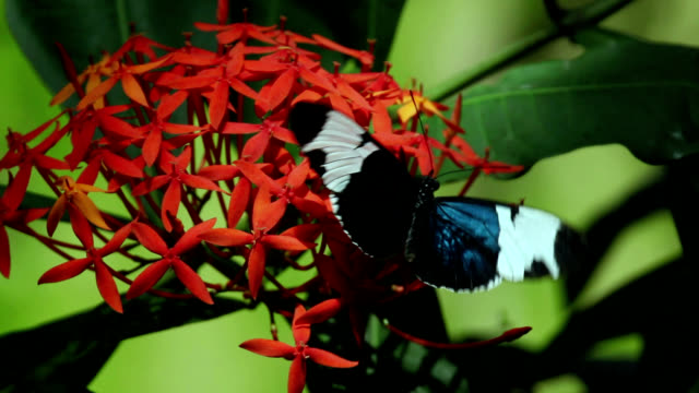 vídeos de stock e filmes b-roll de sapho longwing butterfly feeding - borboleta