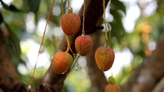 vídeos de stock e filmes b-roll de sapindaceae fechar a árvore é frutas na tailândia. parte 5 - lichia