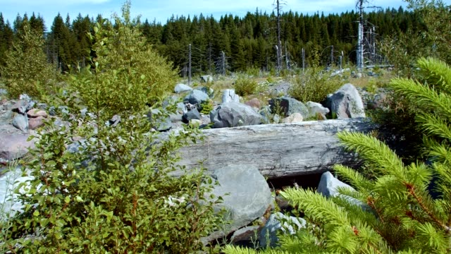 saplings grow in a rocky forest meadow in the wilderness - summer on mount hood - mt hood stock videos & royalty-free footage