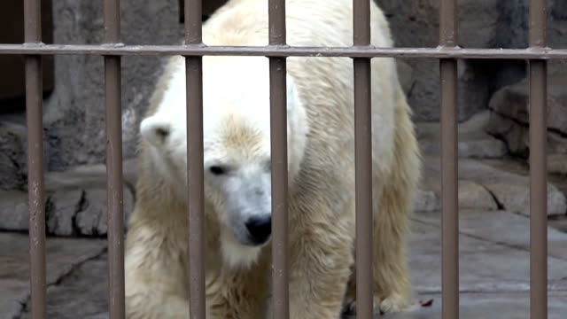 sapporoattention please a polar bear has escaped immediately after the emergency announcement about 60 visitors at sapporo maruyama zoo in the... - 動物園点の映像素材/bロール
