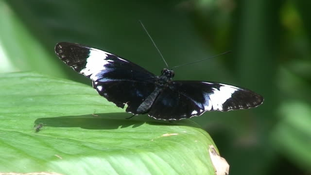 vídeos de stock e filmes b-roll de sara longwing borboleta-costa rica - invertebrado