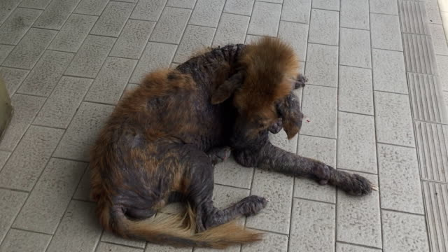 sarcoptic mange disease (canine scabies) - ugliness stock videos and b-roll footage