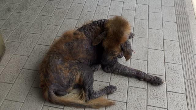 vídeos de stock, filmes e b-roll de doença sarcóptica (sarna canina) - feiura