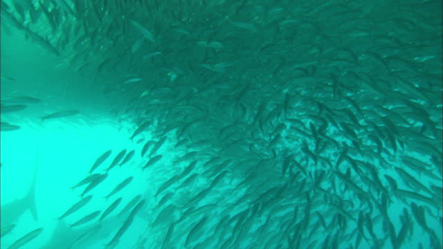 Sardine Run, Sardines, shark into school, school opens, reveal sun at surface, dolphins attack under bait ball, PAN, South Africa