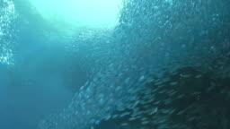 Sardines Run