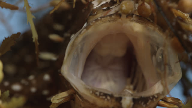 sargassum frogfish gapes mouth open, usa - north america stock videos & royalty-free footage