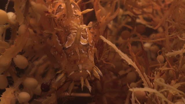 sargassum frogfish hides in seaweed, nantucket, usa - tarnung stock-videos und b-roll-filmmaterial