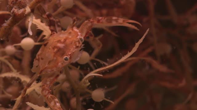 sargassum swimming crab hides in seaweed, nantucket, usa - pelagic zone stock videos & royalty-free footage