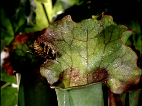 sarracenia pitcher plant and wasp, uk - carnivorous plant stock videos and b-roll footage