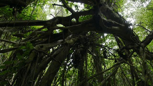 Sarukawa Banyan Tree, Yakushima, Kagoshima, Japan