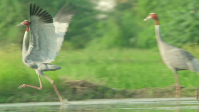 sarus crane adults courtship dance - endangered species stock videos & royalty-free footage