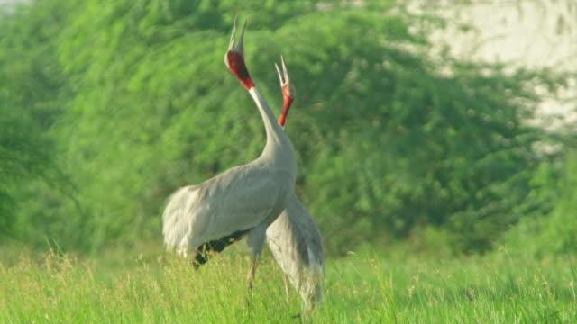 vídeos de stock, filmes e b-roll de sarus crane adults - cabelo ruivo